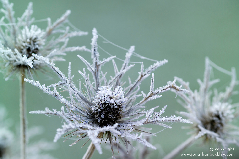 Hoar frost on the seedhead of Eryngium x oliverianum - Sea holly