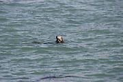 CALIFORNIA COAST - JANUARY 3:  2006 A seal takes a morning swim near Morro Bay during New Year's vacation driving along the California Coast on January 3, 2006 in Morro Bay, California. ©Paul Anthony Spinelli