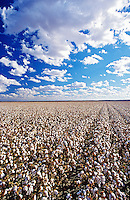 Cotton field Lake Menindee NSW Australia