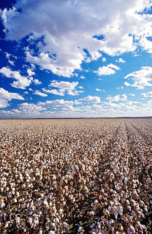 Cotton field Lake Menindee NSW Australia