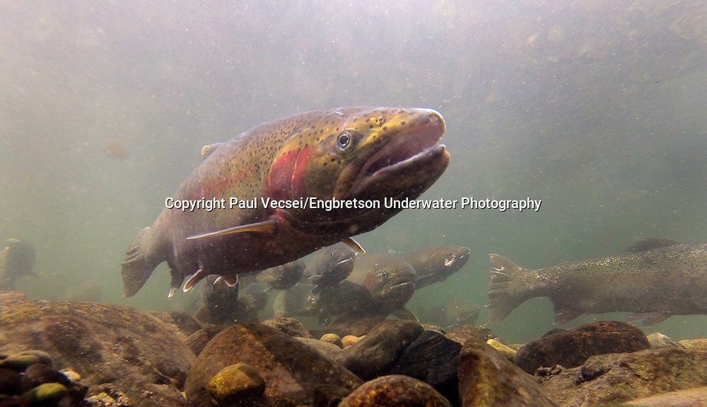Steelhead<br /> <br /> Paul Vecsei/Engbretson Underwater Photography