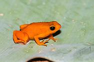 golden mantella (Mantella aurantiaca) - red form<br /> MADAGASCAR: Toamasina province<br /> Peyrieras reptile preserve near Andasibe<br /> 4-Jun-2018<br /> J.C. Abbott &amp; K.K. Abbott