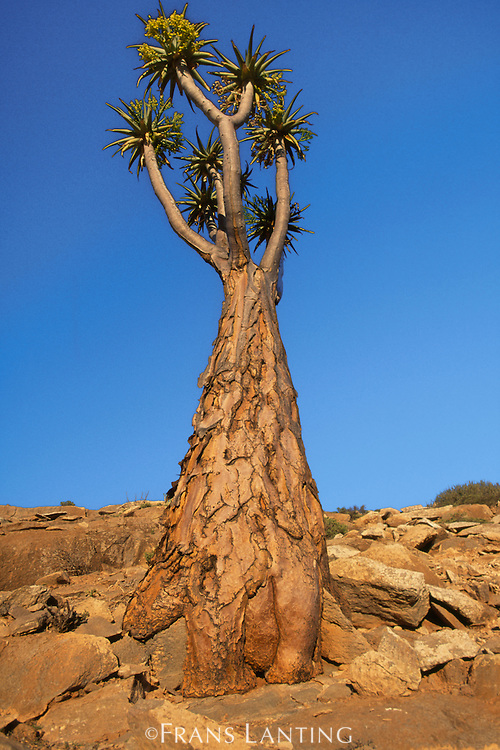 Giant tree aloe at twilight, Aloe pillansii, Richtersveld National Park, South Africa