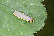 Common Footman Eilema lurideola Length 25mm. An elongated, narrow-winged moth that rests with its wings held flat, the forewings overlapping one another. Adult has mainly grey forewings with a yellow leading edge; the hindwings are yellow. Flies July-August. Larva feeds on lichens growing on trees and shrubs. Widespread and locally common in England and Wales; much more local, and mainly coastal, in Scotland.
