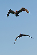 Two Brown Pelicans in flight in Rincon, Puerto Rico.