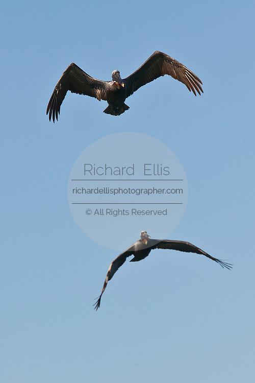 Two Brown Pelicans in flight in Rincon, Puerto Rico.