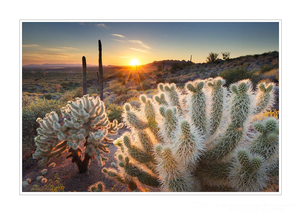 Teddy Bear Cholla cactus (Cylindropuntia bigelovii) illuminated by the setting sun, Superstition Mountains Arizona