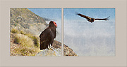 Condor Diptych, artwork, vintage, Big Sur Coast,