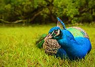 Peacock at Magnolia Plantation in Charleston, SC
