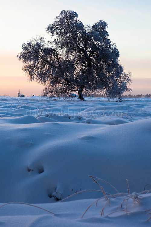 Tree in the winter snow at Baraque Michel, Haute Fagnes, Belgium. (c) 2012 Dave Walsh