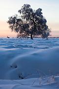 Tree in the winter snow at Baraque Michel, Haute Fagnes, Belgium. (c) 2012 Dave Walsh