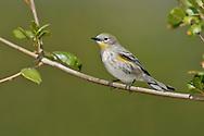 Yellow-rumped Warbler - Setophaga coronata (Audubon's) - Adult non-breeding