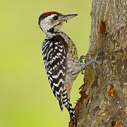 Fulvous-breasted Woodpecker, Dendrocopos macei longipennis