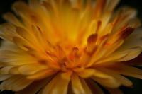Close up of a yellow Gerbera.