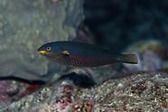 Stethojulis bandanensis (Red shoulder wrasse)