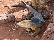 The Galapagos Land Iguana (Conolophus subcristatus) nests on North Seymour Island (introduced from neighboring Baltra Island) in the Galápagos archipelago, a province of Ecuador, located 972 km west of the continent of South America. The Galapagos Land Iguana is colored yellowish orange beneath and brownish-red above, and is a species of lizard in the Iguanidae family, one of two species of the genus Conolophus. The Galapagos Land Iguana is endemic to the Galápagos Islands, primarily the islands of Fernandina, Isabela, Santa Cruz, North Seymour, Hood and South Plaza. North Seymour Island was named after English nobleman Lord Hugh Seymour and has a maximum altitude of 28 meters (92 feet), formed from geological uplift.