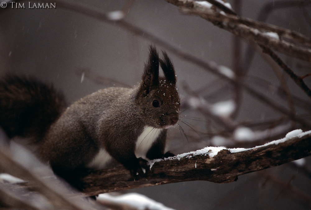 Portrait of a snow-dusted Hokkaido squirrel in profile.