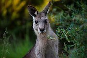 Portrait of surprised young Eastern Grey Kangaroo, at Tom Groggins, Mount Kosciuszko National Park