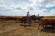 Rancher, John L. Moore, neighbors, Joe Peila, Wally Badgett, rope and drag calves to fire, cattle branding, on his Lazy TL Ranch, north of Miles City, Montana