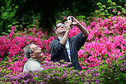 © Licensed to London News Pictures. 07/06/2013. Wisley, UK A man takes a photograph of a tree in front of a display of  rhododendron. People enjoy the warm weather at RHS Wisley in Surrey today 7th June 2013. Photo credit : Stephen Simpson/LNP