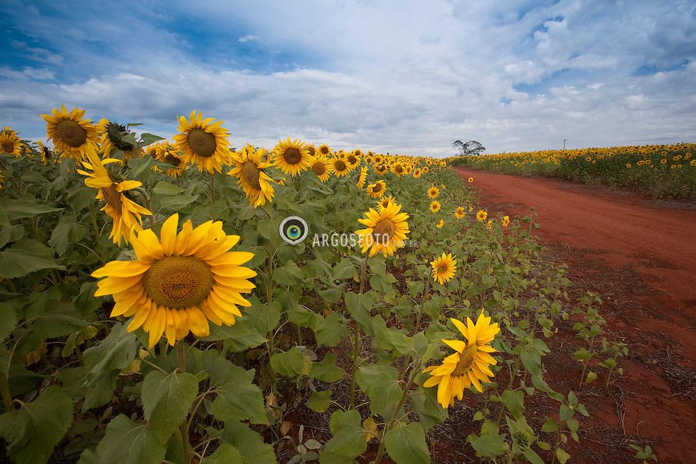 Estrada de terra, Lavoura de Girassol em plena floracao./Dirt Road, Crop Sunflower in full bloom