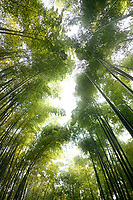 Arashiyama bamboo forest tree tops glowing in bright sunlight, artistic low angle view scenery, Kyoto, Japan.