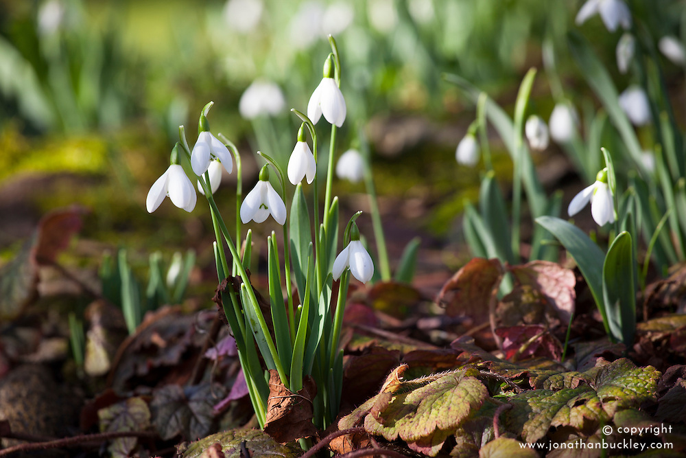 Snowdrops pushing through leaves at the base of the horsechestnut tree. Galanthus nivalis