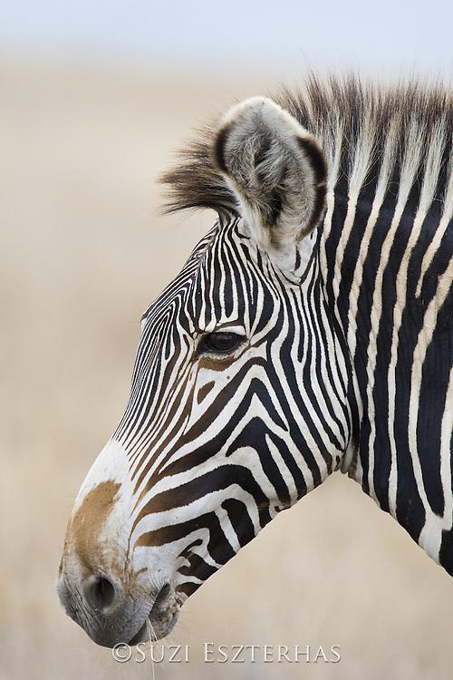 Grevy&iacute;s Zebra<br /> Equus grevyi<br /> Stallion<br /> Lewa Wildlife Conservancy, Kenya