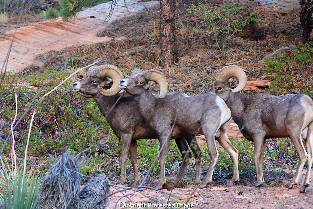 Desert Bighorn sheep establishing dominance for breeding rights during the rutting season. Rams posture and huddle prior to the rut.