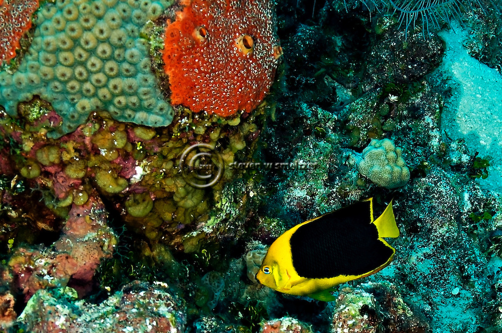 Rock Beauty, Holacanthus tricolor, (Bloch, 1795), Grand Cayman