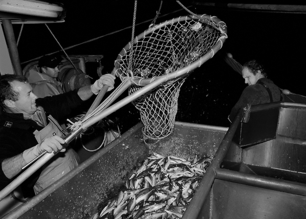 Crew of the 'Pride of Cornwall' hauling in a catch of sardines. <br />