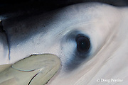 eye of manta ray, Manta birostris, with remora, or suckerfish, attached next to it, Kona, Hawaii ( Central Pacific Ocean )