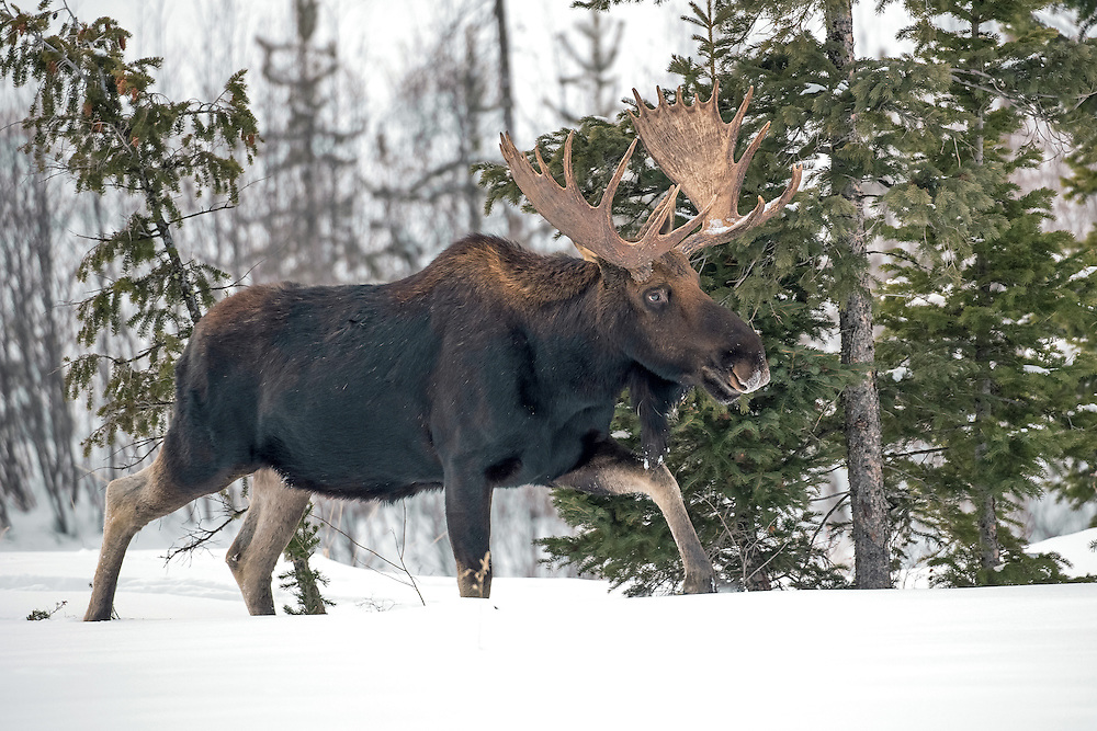 Traveling through the deep snow, a bull moose breaks trail on his way towards a willow patch along the Shoshone River .