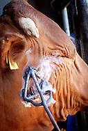 Branding of cattle.