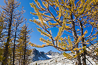 Larch trees in Autumn colors, Enchantment Lakes Wilderness Area, Washington Cascades, USA.