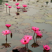 India red pond water lily, Nymphaea rubra, in flower at Sukhothai Park,.Thailand...