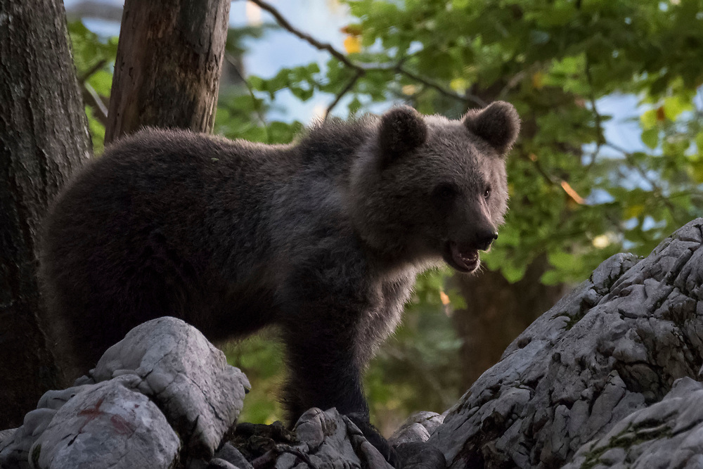 Wild Bears in Slovenia