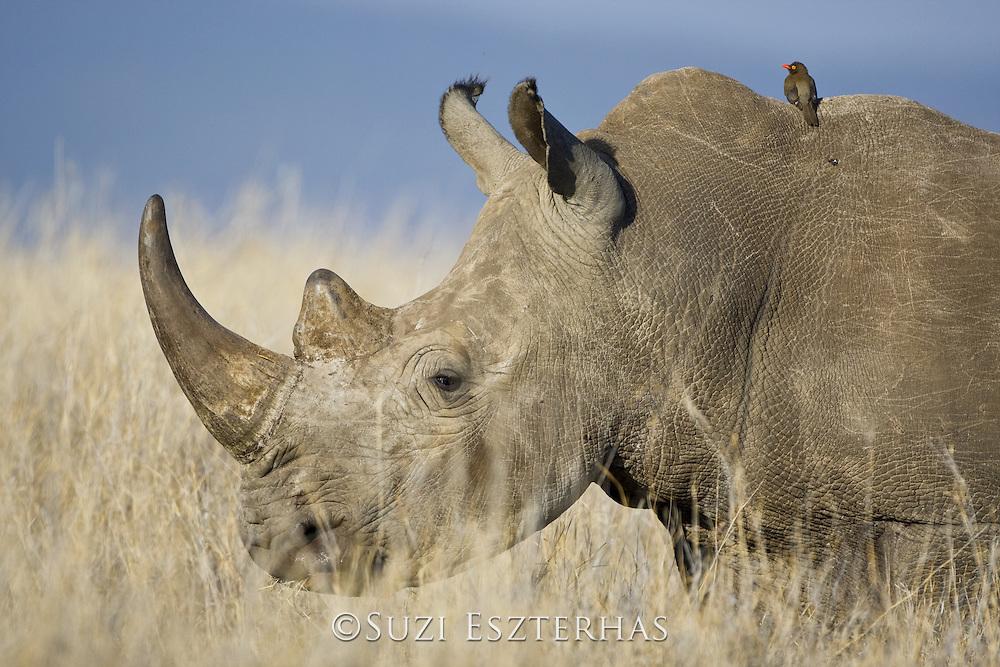 White Rhino<br /> Ceratotherium simum<br /> Lewa Conservancy, Kenya