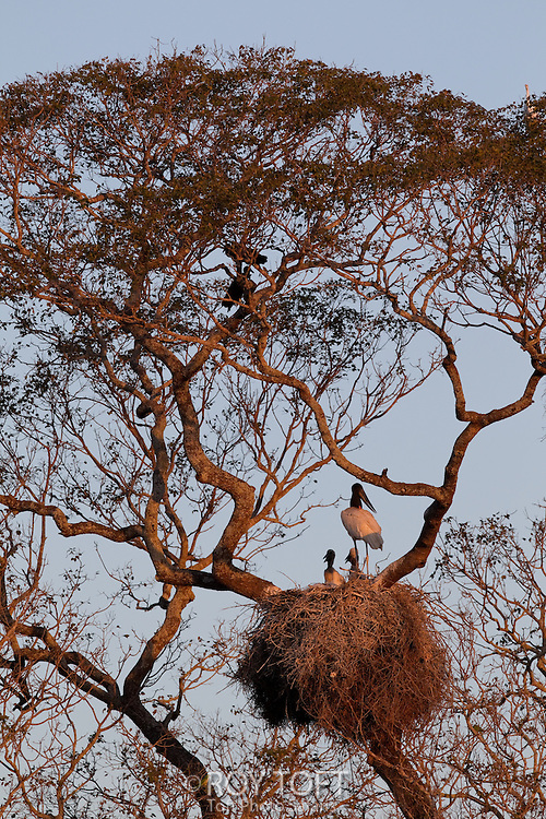 Jabiru Stork (Jabiru mycteria) on nest, Pantanal, Brazil