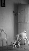 Cabra dentro  da casa da Família Menezes, Comunidade Roça Velha, município de Floresta, Pernambuco.  D. Maria Olímpia de Araújo Menezes e Seu Manoel Menezes Filho, casados a cinqüenta anos, doze filhos, trabalhadores rurais aposentados.