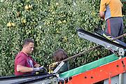 Nederland, Elst, 2-9-2014 Peren worden binnengehaald door Poolse arbeidskrachten, mannen en vrouwen. Foto: Flip Franssen/Hollandse Hoogte