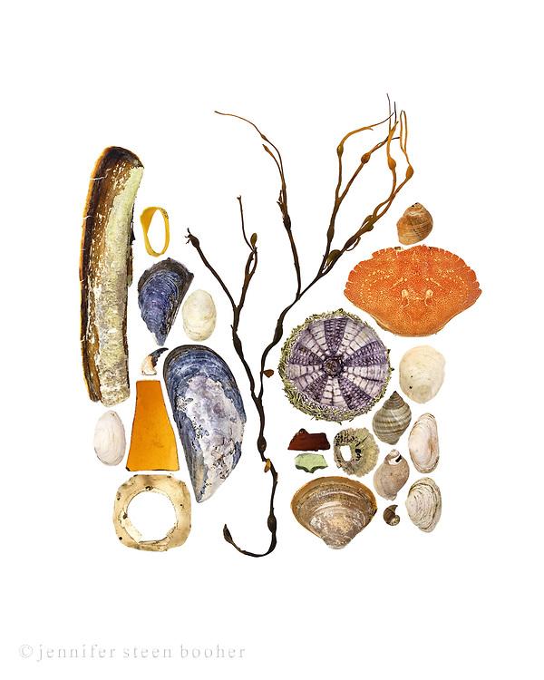 Top to bottom, left to right: Razor clam (Ensis directus), Soft shelled Clam (Mya arenaria), lobster claw band, Blue Mussel (Mytilus edulis), partial crab claw, broken glass, plastic scrap, Slipper Shell (Crepidula fornicata), Blue Mussel, Rockweed (Ascophyllum nodosum), Green Sea Urchin (Strongylocentrotus drobachiensis), broken glass, Northern Rock Barnacle (Semibalanus balanoides), Quahog (Mercenaria mercenaria), Common Periwinkle (Littorina littorea), Rock Crab (Cancer irroratus), Slipper Shell, Dog Whelk (Nucella lapilus), Periwinkle, Soft Shell Clam, Quahog