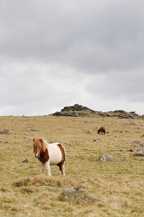 Pony at the moors of Dartmoor national park