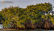 Double crested cormorant rookery at Ten Thousand Islands NWR in Everglades National Park, Florida, USA