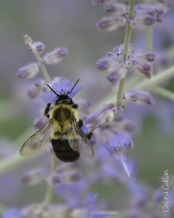Bumble Bee on Russian Sage Bush