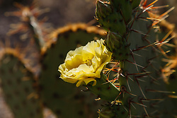 Long-spined Prickly Pear, Opuntia macrocentra