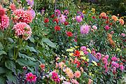 Dahlia garden in Butchart Gardens, Victoria, British Columbia, Canada.