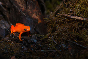 The golden mantella (Mantella aurantiaca) is a small, terrestrial frog endemic to Madagascar. This indivisual is the 'red form' of the species.