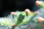 This is my favorite image from Spring '09. It captures a single cluster of new growth Spruce needles, just after the protective covering has fallen away. The selective focus technique used to capture this image creates a somewhat otherworldly effect, which is quite visually impactful.