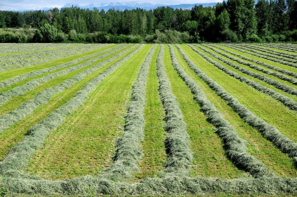 Cut Timothy hay
